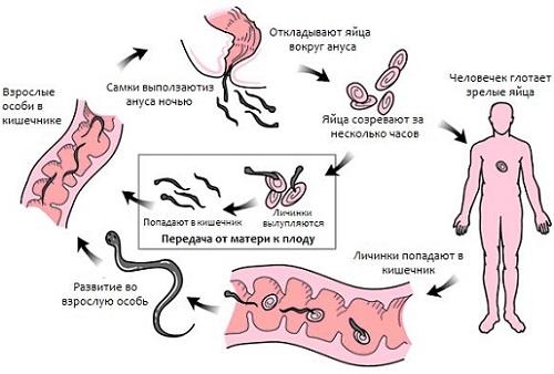энтеробиоз жизненный цикл