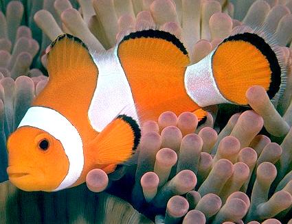 Клоуны - веселые жители подводного мира