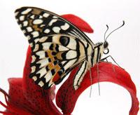 Прекрасный подарок - тропическая бабочка. Компания Ванесса. Новосибирск
